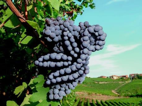 Blaue Trauben im Planterra Logo geformt
