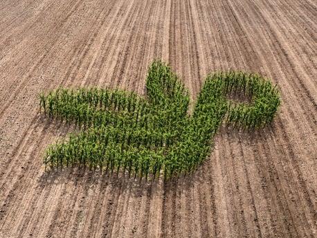 Durchgeschnittener Maiskolben mit Planterra Logo