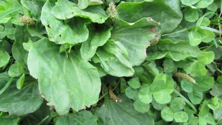 Breitwegerich (Plantago sp.)