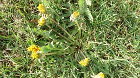 Löwenzahn (Taraxacum officinalis)