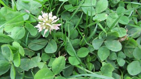 Weißklee (Trifolium repens)