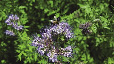 Sir Graham Phacelia