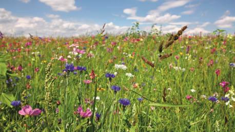 Blumenwiese aus Gräsern, Kleearten sowie verschiedenen Blumen und Kräutern