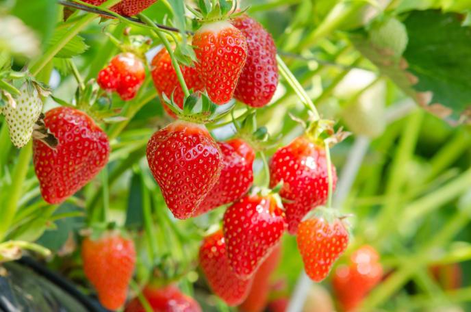 Erdbeeren zur Verfügung gestellt von 123rf