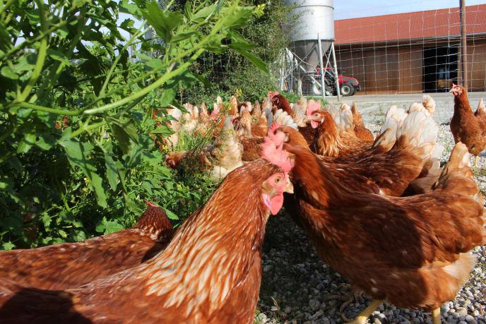 Hühner im Freiland