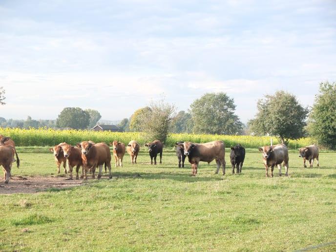 Unsere Aubrac-Rinder auf der Weide