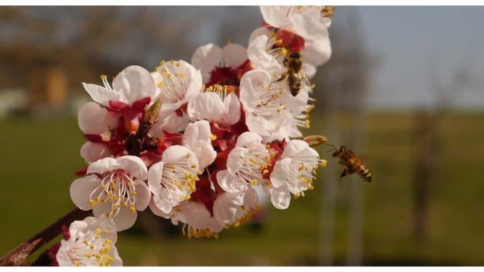 Aprikosenblüte mit Biene