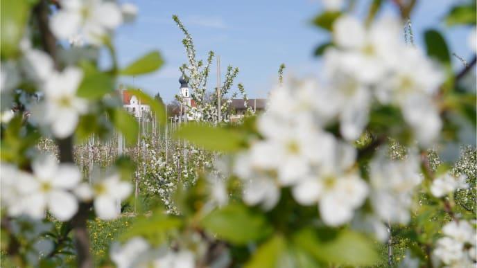 Mirabellenblüte 2