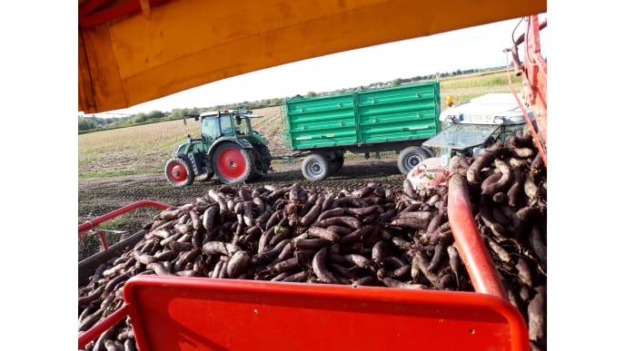 rote Rüben auf Traktor