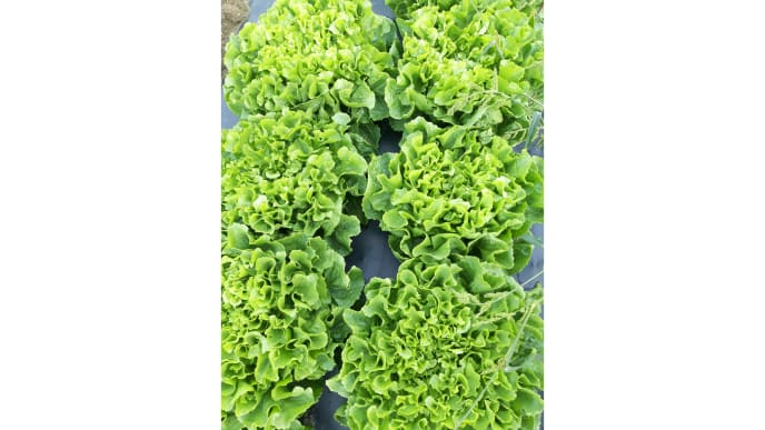 Salatköpfe 1