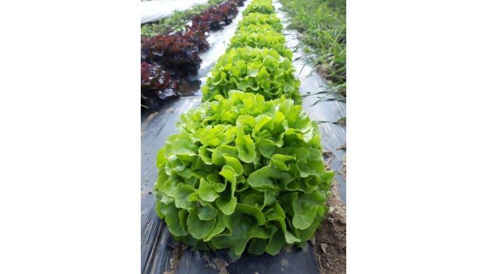 Salatkopfreihe