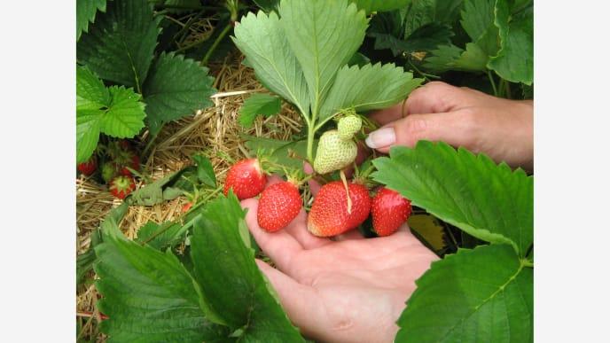 Erdbeeren4