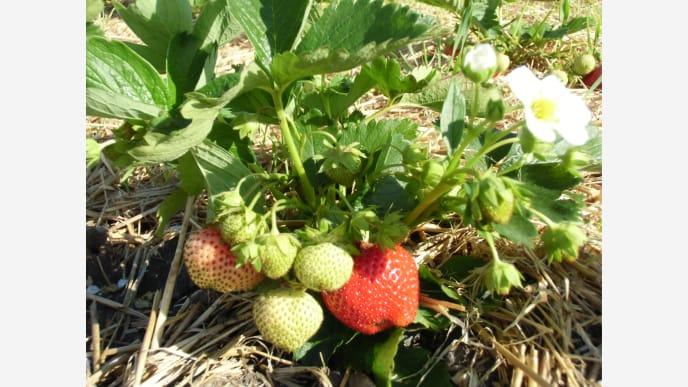 Erdbeeren6