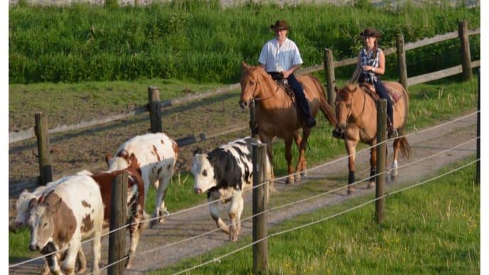 Reiter treiben Kühe