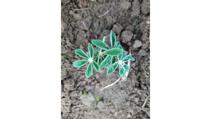 Hanfpflanze