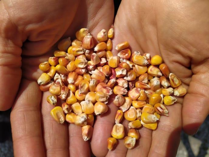 Maiskörner in Hand