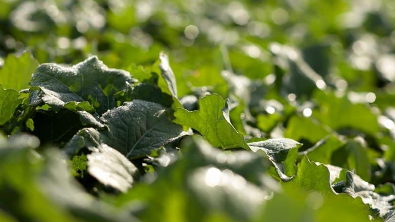 Herbizid zur Behandlung im Winterraps