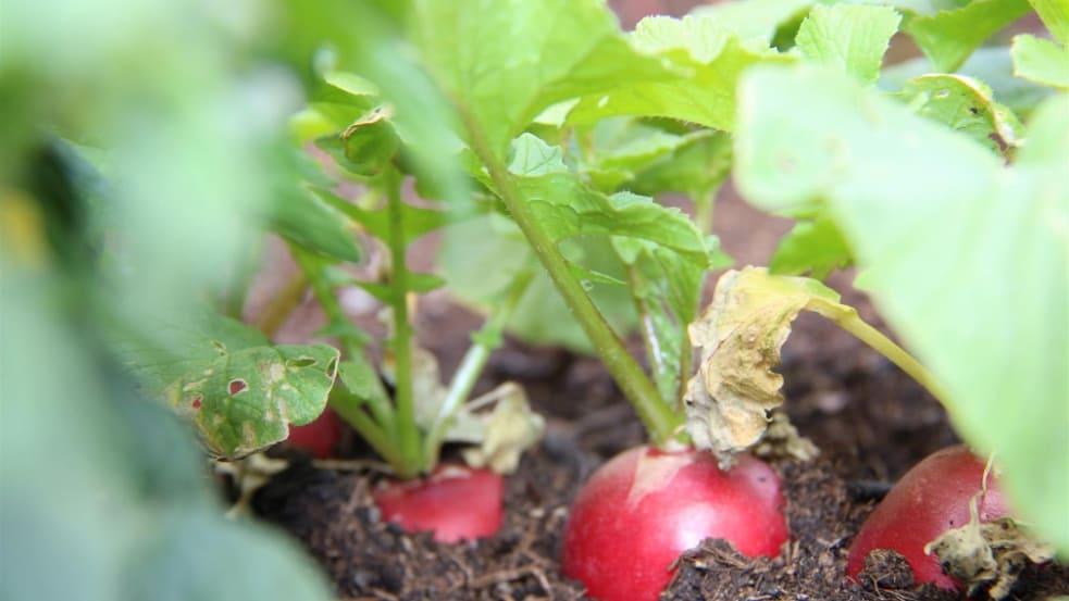 Hier werden Salat, Radieschen, Kapuzinerkresse und Kohlrabi geerntet.