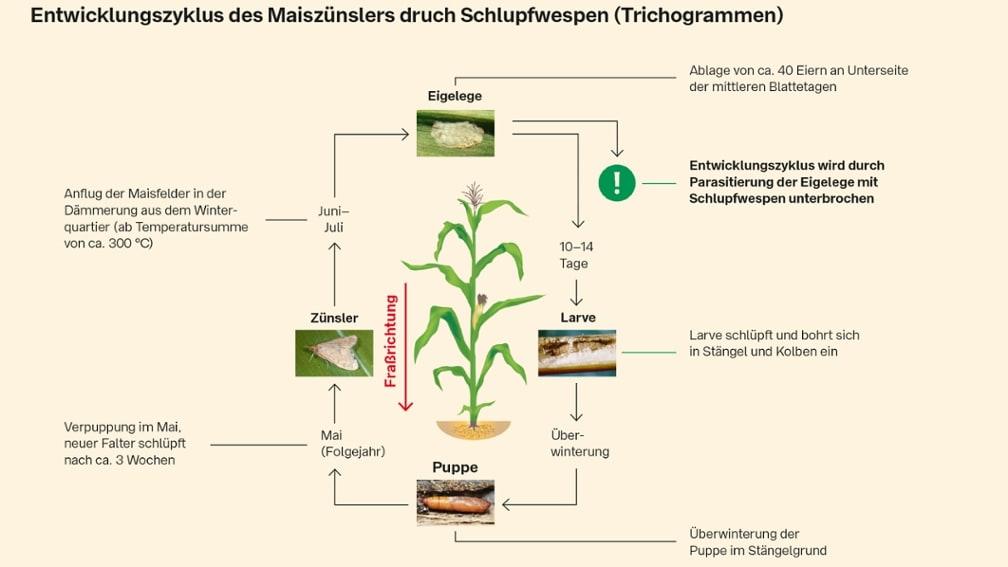 Entwicklungszyklus Maiszünsler