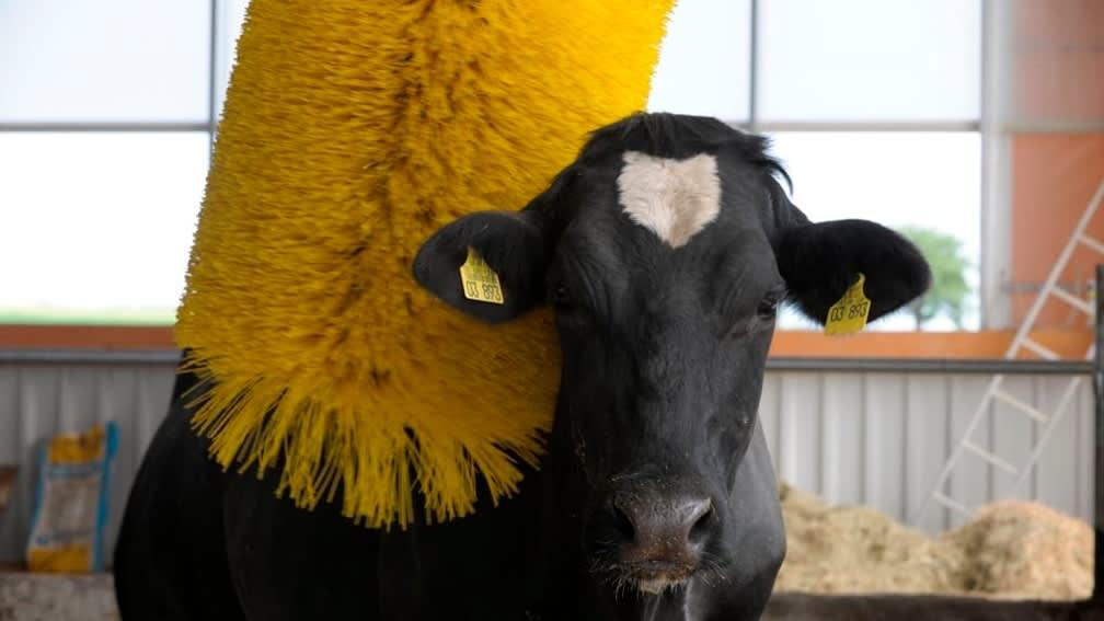 Kuh mit DeLaval Kuhbürste