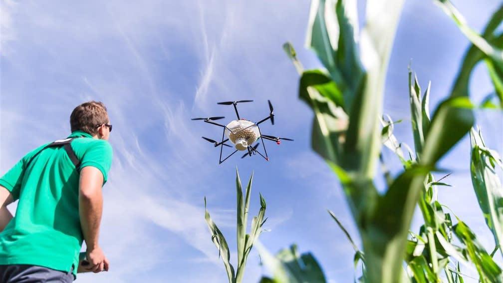 Drohne wird von Mensch über Maisfeld gesteuert