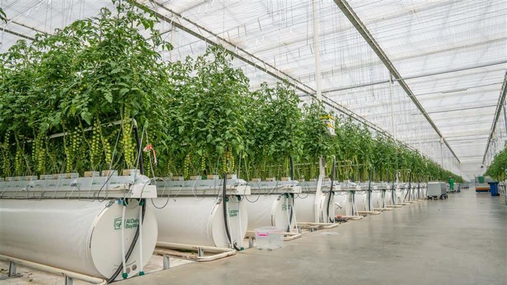 Grüne-Tomatensträucher in Gewächshaus