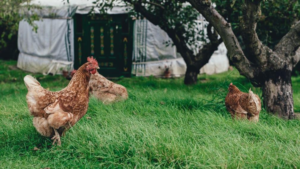 Wie entsteht das Hühner-Ei?