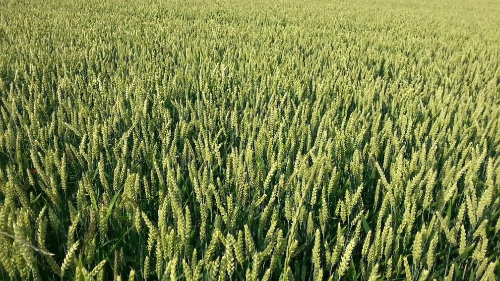 Grüner Weizen, der noch nicht reif ist.