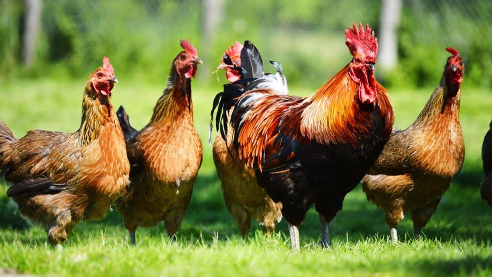 Öko-Futtermittel für die Geflügelhaltung