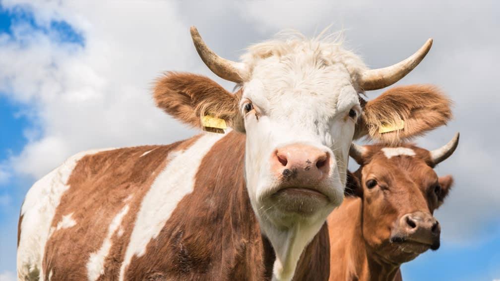 Öko-Futtermittel für Rinder, Schafe und Ziegen