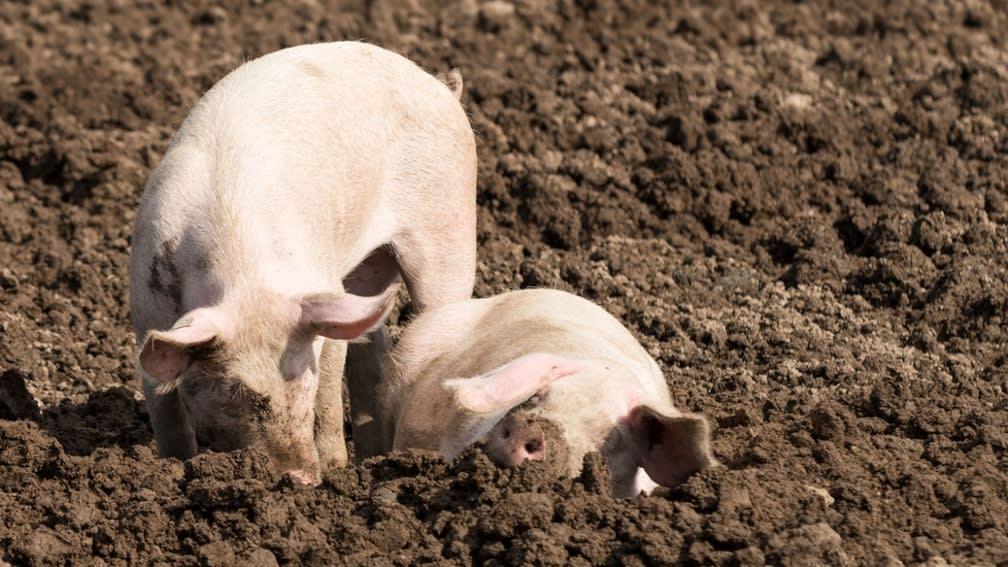 Ökologische Futtermittel für die Schweinehaltung