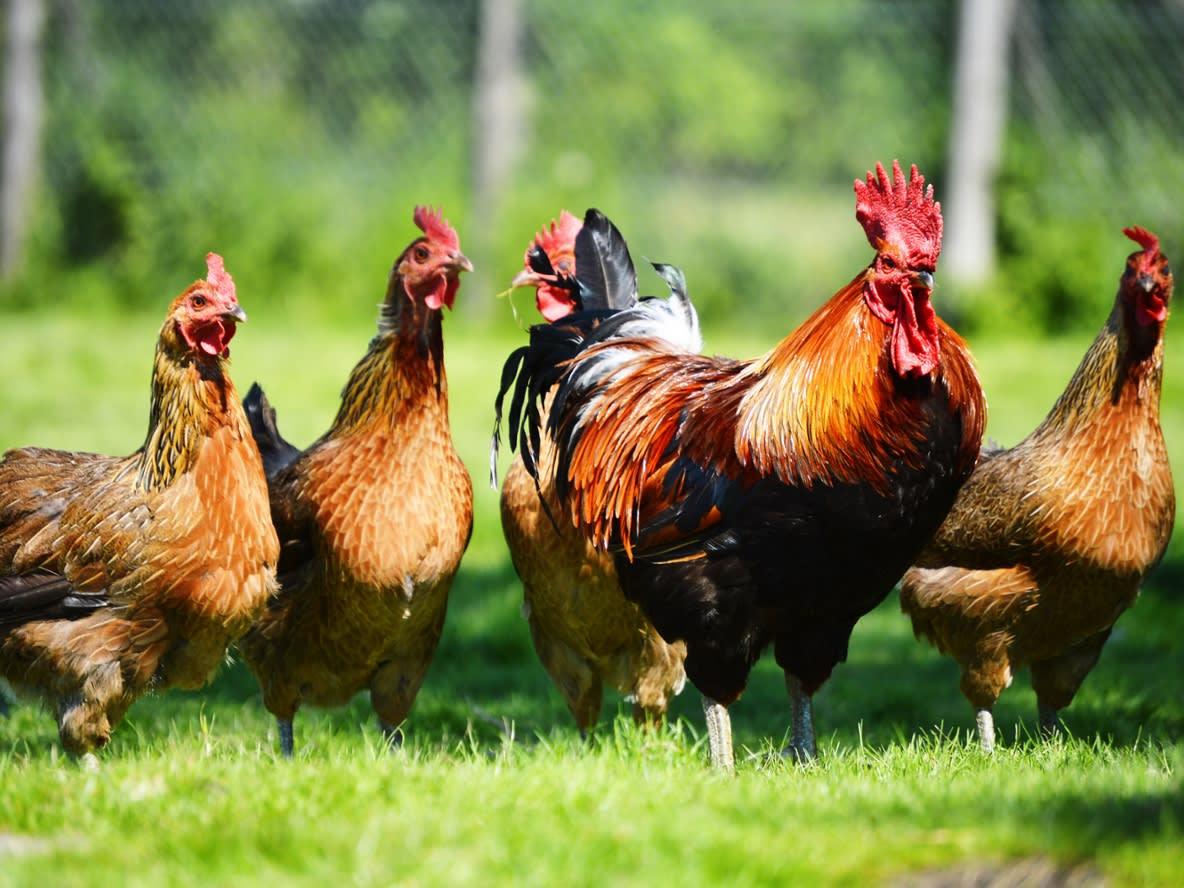 Nur für kurze Zeit: Geflügelfutter versandkostenfrei bestellen