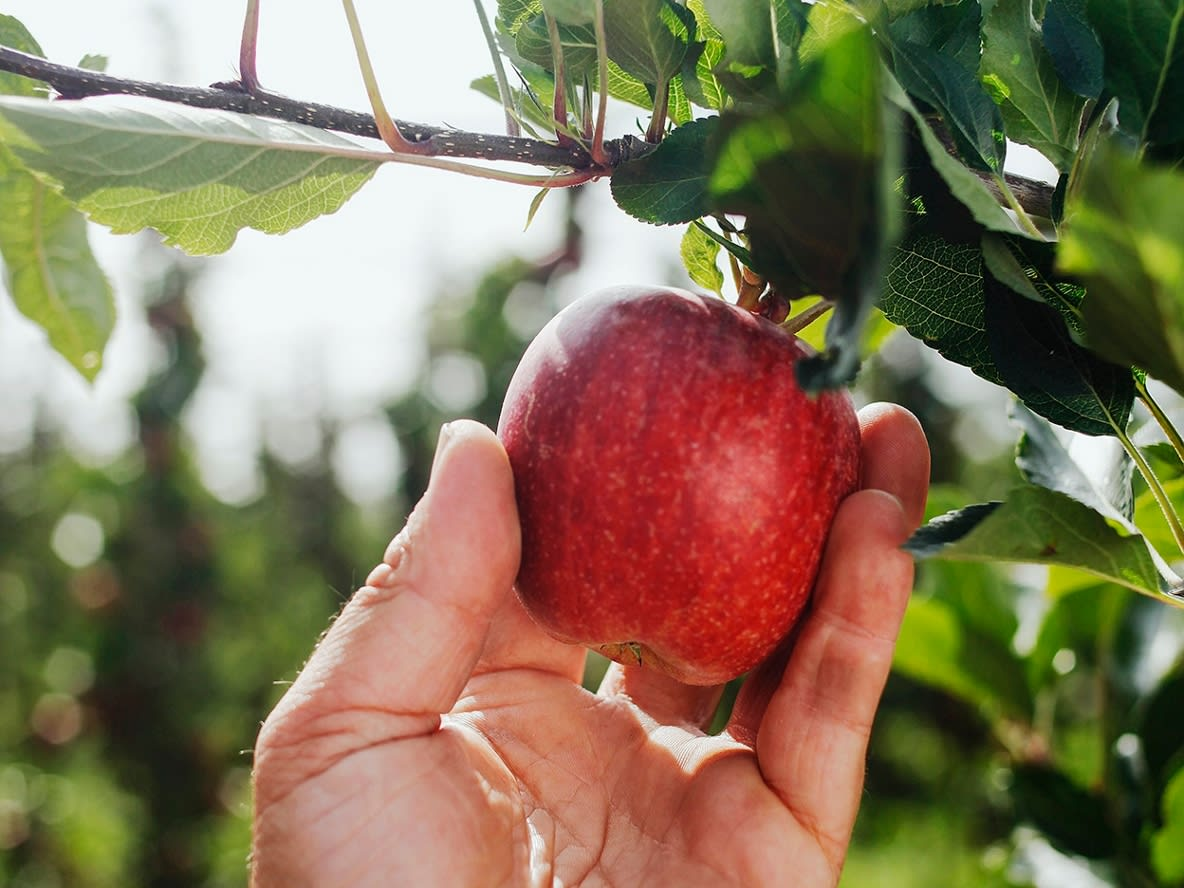 Apfel pflücken