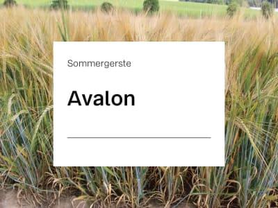 Sommergerste Avalon