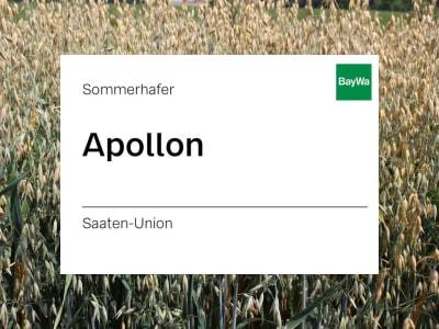 Sommerhafer Apollon