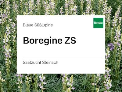 Blaue Lupine Boregine ZS