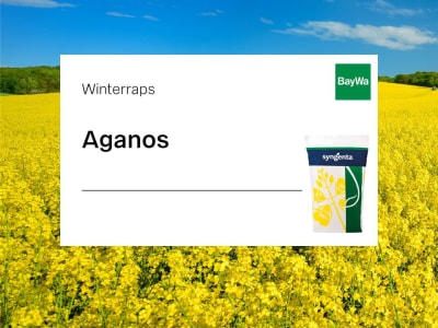 Winterraps Syngenta Aganos