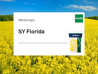 Winterraps Saatgut Syngenta SY Florida