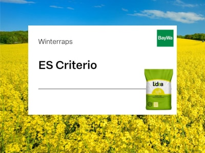 Winterraps Saatgut Lidea ES Criterio Kohlhernie resistent  Scenic Gold + Lumiposa