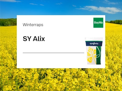 Winterraps Saatgut Syngenta SY Alix Kohlhernie resistent  Scenic Gold + Lumiposa