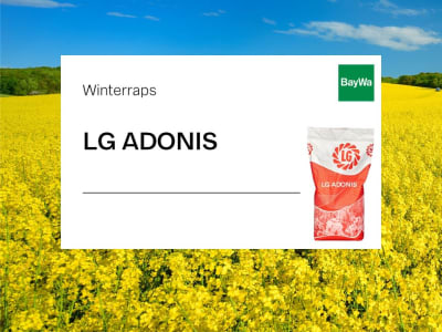 Winterraps Saatgut LG ADONIS (LE 18/ 405)  Scenic Gold