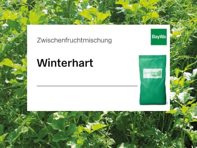 GreenTrip Zwischenfruchtmischung Winterhart Greening, einjährige, Spätsaatmischung aus Winterfutterraps und Winterrübsen 20 kg Sack