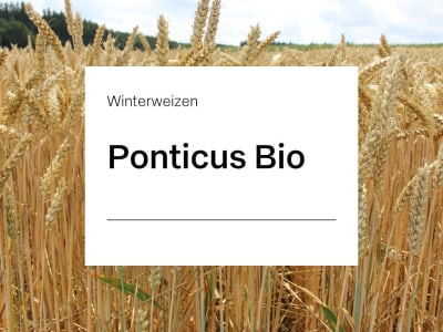 Winterweizen Saatgut Ponticus ZS Öko E-Weizen