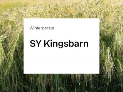 Wintergerste Saatgut SY Kingsbarn ZS mehrzeilige Futtergerste