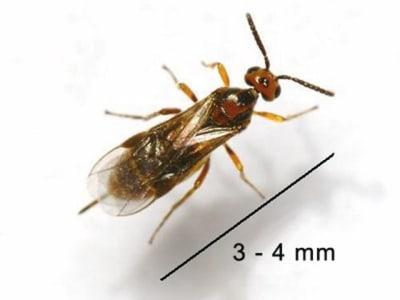 Mehlmottenschlupfwespe gegen Mehlmotten, Speichermotten und Dörrobstmotten mind. 30 Tiere