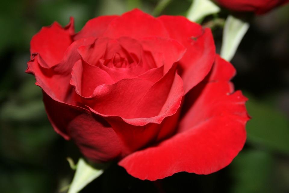 Esmeralda rose de porcelana - 1 1