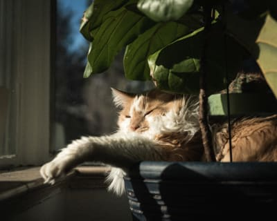 Jean Luc takes an afternoon nap in the pot of a fiddle leaf fig.