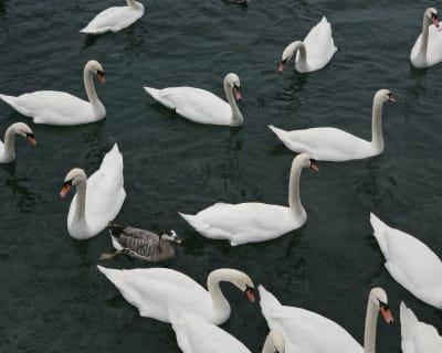 Ducks hanging out in Lake Geneva.
