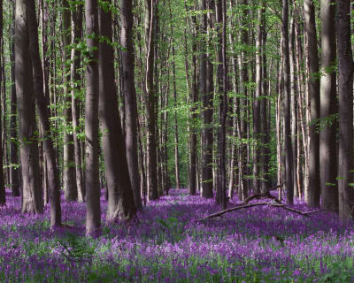 Peering into dense forests of Belgium, during the annual bloom of Bluebells.