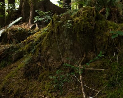 An old trunk deep in the forest on the Oregon coast.